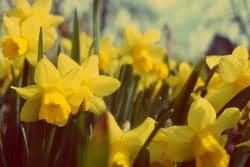Spring flowers in Niagara's Queen Victoria Park